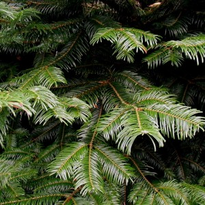 abies_grandis_needles